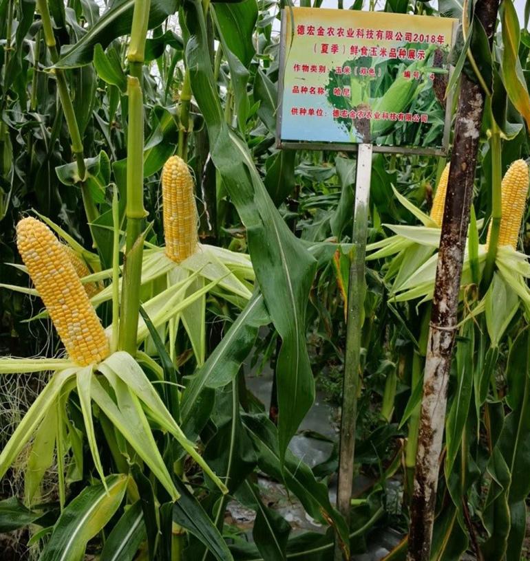 玉米(双色)